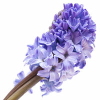 ヒヤシンス Abs(  Hyacinth Absolute)エッセンシャルオイル 3mL