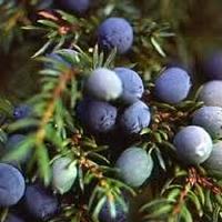 ジュニパーベリー(Juniperberry)エッセンシャルオイル 10mL