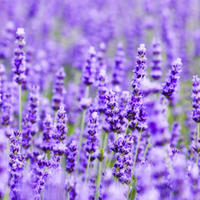 真正ラベンダー (True Lavender) エッセンシャルオイル