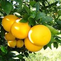 グレープフルーツ(Grapefruit)エッセンシャルオイル 10mL