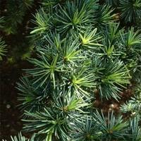パイン(Pine)エッセンシャルオイル 10mL