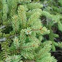スプルースブラック(Spruce black )エッセンシャルオイル 10mL