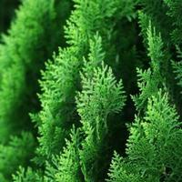 サイプレス(cypress)エッセンシャルオイル 10mL