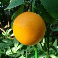 オレンジスイート(Orangesweet)  エッセンシャルオイル
