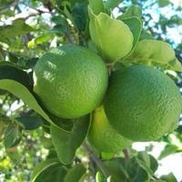 ライム(Lime) Organic エッセンシャルオイル  10mL