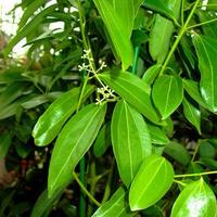 シナモンリーフ(Cinnamon Leaf) 10mL  エッセンシャルオイル
