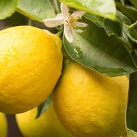 レモン(Lemon)エッセンシャルオイル10mL