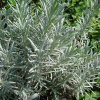 ローズマリーシネオール(Rosemary ct.Cineol)USDA Organic10mL  エッセンシャルオイル