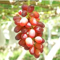朝採れ完熟ベニバラード(種あり) 2kg(3〜4房)