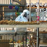 【送料無料】2020年『いたずらオウム』壁掛けカレンダー