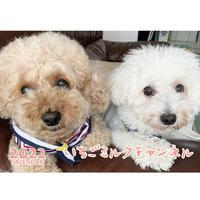 【予約販売】 トイプードル いちご&ミルク 2022年 壁掛け カレンダー KK22143