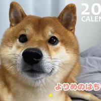 【予約販売】 柴犬 よりめのはちくん 2021年 壁掛けカレンダー KK21011