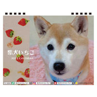 【予約販売】 柴犬いちご 2022年 卓上 カレンダー TC22027