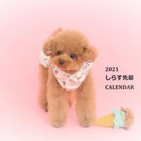 【予約販売】 トイプードル しらす先輩 2021年 壁掛けカレンダー KK21038