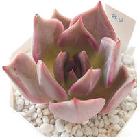 ビューティリリー Beauty Lily
