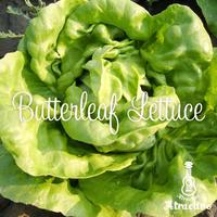 やわらかさがやみつきになるサラダにお勧めバターレタスの種
