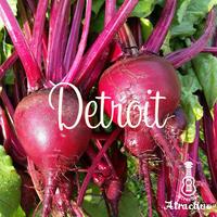 テーブルビートの代表品種「デトロイト」の種