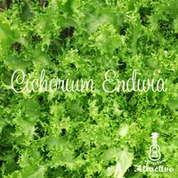 苦味が特徴の西洋野菜エンダイブの種
