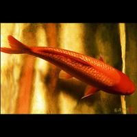 <フォトアクリル>「ギンリン紅鯉」(Lサイズ)
