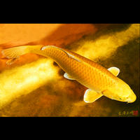 <フォトアクリル>「黄金の錦鯉」(Sサイズ)
