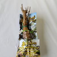 バオバブ苗木 3-4年 ⑱Fatou (Adansonia Digitata)
