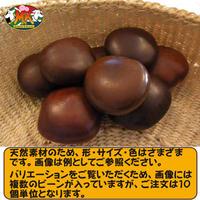 【送料無料】世界で一番大きな豆 幸せを呼ぶ「ズールーラブビーン」(モダマ)ばら売り 10個単位