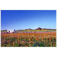 【送料無料】澤野新一朗 ナマクアランドの花園 ポストカード08006