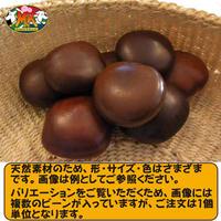 【送料無料】世界で一番大きな豆 幸せを呼ぶ「ズールーラブビーン」(モダマ) ばら売り 1個単位