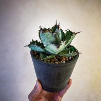 アガベ チタノタ ブラック アンド ブルー⑧ Agave titanota black and blue