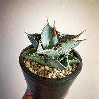 アガベ チタノタ ホワイトアイス㉑ Agave titanota Whiteice