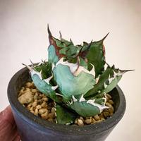 アガベ チタノタ姫巌竜8  Agave titanota hybrid