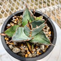 アガベ チタノタ ホワイトアイス⑲ Agave titanota Whiteice