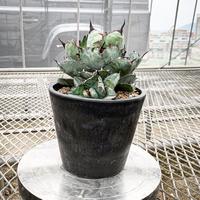 アガベ チタノタ ブラック アンド ブルー⑦ Agave titanota black and blue