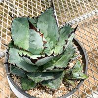 アガベ チタノタ ブラック アンド ブルー⑰ Agave titanota black and blue