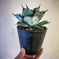 アガベ チタノタ ブラック アンド ブルー⑨ Agave titanota black and blue