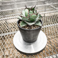 アガベ チタノタ ブラック アンド ブルー① Agave titanota black and blue