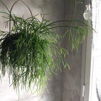 Rhipsalis Cassutha with basket (リプサリス・カスッサ  *ハンギングバスケット付)