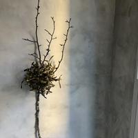 "Dried mistletoe conversion""Yadorigi"" (ヤドリギ・コンバージョン""ヤドリギ"" )"