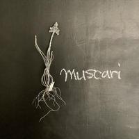 muscari (ムスカリ球根付き)B
