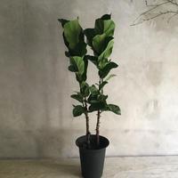 Ficus Lyrata Potted Plant 100(カシワバゴム・バンビーノ100cm)