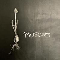 muscari (ムスカリ球根付き) A