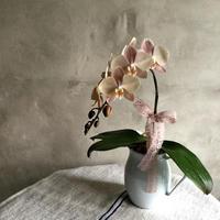 Phaleanopsis Mother Cheek(胡蝶蘭マザーチーク)2018母の日ギフト限定