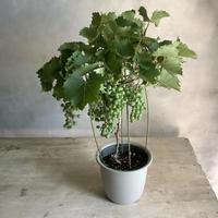 Wild Grape Pot (ヤマブドウ)
