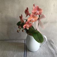 "Phaleanopsis ""茜""(胡蝶蘭あかね)2018母の日ギフト限定 5/9まで"