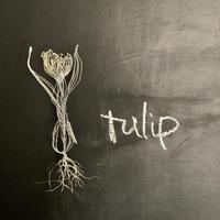 tulip (チューリップ 球根付き)