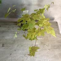 "Wild Grape ""Aurea"" Pot (野ブドウ・オーレア)"