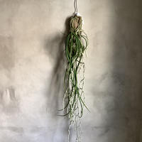"Saidenfadenia mitrata B ""Curly roots""(サイデンファニア・ミトラタ""カーリー"")"