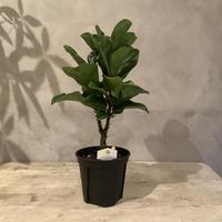 Ficus lyrata potted plant 50(カシワバゴム・バンビーノ50cm)