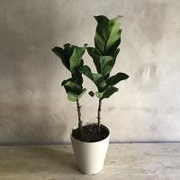 Ficus Lyrata Potted Plant 70(カシワバゴム・バンビーノ70cm)