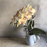 "Phaleanopsis Sogo Plum"" 胡蝶蘭ソーゴ・プラム""(最終入荷・数量限定販売)"
